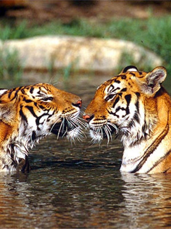 Tiger Trail Ranthambore National Park Package